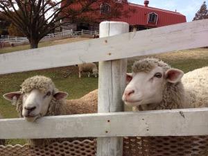 sheep-680217_640