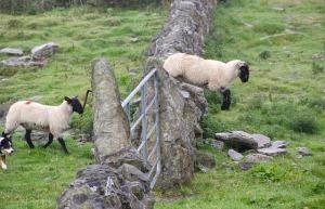 sheep-981881_640